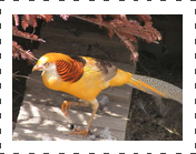 Yellow Golden Pheasant