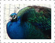 black shoulder peafowl