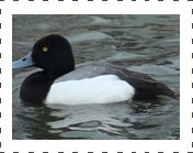 Greater Scaup.