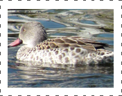 cape teal duck