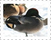 Falcated Teal Duck