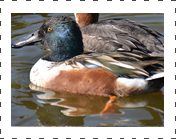 Northern Shovler Duck