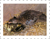Falcated Teal Ducks