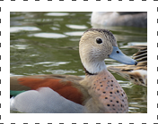 Ring Teal Duck