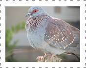 Triangular pigeon