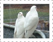 White King Pigeon