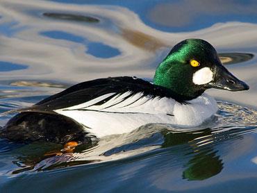 Hilltopfarms Golden Eye Duck