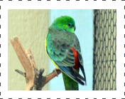 Red Rump Parakeet