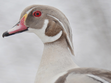 Silver Wood Ducks For Sale http://www.hilltopfarmsny.com/hilltopfarms-bdy2-silver-woodduck.html