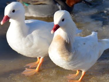 White Male And Female Mandarin Duck