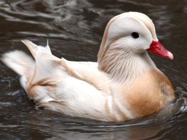 White Male Mandarin Duck